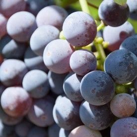 Grapes of Enjoyment